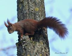 l' écureuil (christian.sausse) Tags: écureuil