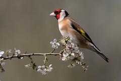 Goldfinch (Mr F1) Tags: goldfinch johnfanning wild nature smallbirds colour uk outdoors woodland blossom perch finch