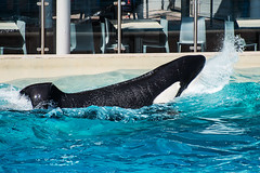Ikaika (Jennifer Stuber) Tags: seaworld seaworldsandiego orca killerwhale orque shamu shamustadium cetacean orcinusorca orcinus black white nikond750 nikon swc swsd ike