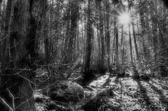 Morning Sun Inside The Forrest (Underock) Tags: forest sunlight sun sunbeam nikon d7000 woods cambridge hespeler trail water creek