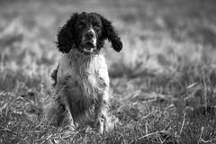 11/52 ZigZag 2016 (Flemming Andersen) Tags: 52weeksfordogs cocker spaniel zigzag attention barking dog goon wet horsens centraldenmarkregion denmark dk bw blackandwhite monochrome