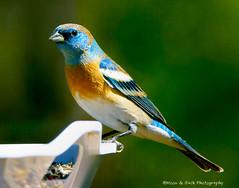 Lazuli Bunting (Aspenbreeze) Tags: lazulibunting bird wildbird birds buntings wildlife nature backyardbirds bluebirds feathers beaks moonandbackphotography aspenbreeze