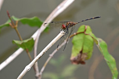 Setwing at Rainmaker (Cameron Eckert) Tags: odonata ode biodiversity beauty dragonflies wetland ecosystem ecological ecology expedition explore ecologicalmonitoring habitat habitatconservation wing flight insect