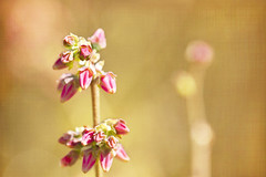 perfumes and secret silence (1crzqbn) Tags: springtime depthoffield dof pink bokeh sunlight flower light 1crzqbn