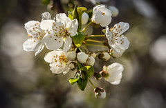 Plum Blossom Explosion (Eye of G Photography) Tags: spring flowers blossoms floweringplum white
