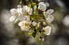 Plum Blossom Explosion (Eye of G Photography) Tags: spring flowers blossoms floweringplum white