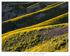 Wildflowers, Temblor Range (G Dan Mitchell) Tags: temblor mountains range hills slopes carrizoplain national monument yellow spring flowers bloom wildflowers nature landscape california usa north america