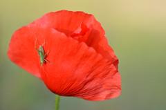 Camouflage failed (dfromonteil) Tags: fleur flower insect bug poppy grasshopper sauterelle red green rouge vert colors couleurs insecte hidden caché macro bokeh coquelicot nature spring printemps light lumière
