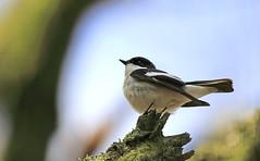 Pied Flycatcher - tricky subjects