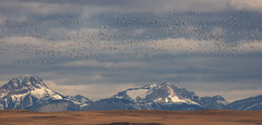 Snow Geese (Kim Tashjian) Tags: snowgeese birds wildlife freezoutlake freezeout lakemontanarocky mountain front