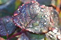 Dew on rose tree (dfromonteil) Tags: rose rosier rosetree dew water droplet light gouttes eau feuilles leaves lumière soleil sunrise levant macro bokeh nature plant plante colors couleurs
