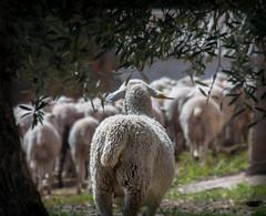 REZAGADA (ROGE gonzalez ALIAGA) Tags: paisaje sierradelsegura yeste ganado rebaño animales