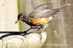 Apr 16-17 American Robin (maerlyn8) Tags: 2017 nature bird yardbirds avian animal robin americanrobin dirty bathing birdbath canon 400mm ngc