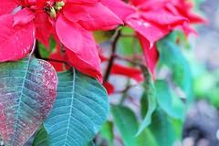 winterstern (jaysiegel) Tags: flower stern red spring fruehling germany