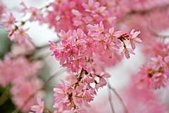 Sakura Rain (tez-guitar) Tags: sakura cherryblossom cherry blossoms bloom spring flower pentax pentaxart petal tamron macro kyoto temple