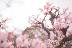 Umestream - Nikon D3s & Nikon AF-S Nikkor 24mm f/1.4G ED (TORO*) Tags: nikon d3s af afs nikkor 24 24mm f14g f14 14 ed osaka castle park plum ume japan bokeh blur tree plant blossom depth field pastel outdoor flower japanese apricot cloud white pink