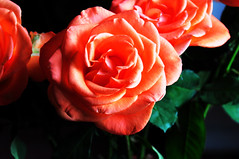 DSC_6592 Orange Roses (PeaTJay) Tags: nikond300s sigma reading lowerearley berkshire macro micro closeups gardens indoors nature flora fauna plants flowers bouquet rose roses rosebuds