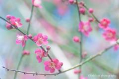 Joyful (littlekiss☆) Tags: japaneseapricot flower sunshine nature pink vandusenbotanicalgarden vancouver littlekissphotography