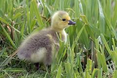 Canada Goose (Branta canadensis) (Tony Varela Photography) Tags: brantacanadensis canadagoose goose photographertonyvarela canadageese gosling