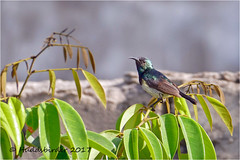 Variable Sunbird (Huddsbirder) Tags: huddsbirder gambia farakunku variable sunbird fz1000 panasonic