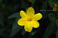 Yellow Yellow (chavarriamatias) Tags: yellow amarillo green verde nature park plant macro flor florcita flower yellowish nikon 1855 beauty nice pretty bella amarilla