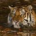 .....Swimming Tiger..... (dieter-und-marion sempf) Tags: sibirischertiger siberiantiger groskatz bigcat predator raubtier nürnberg tiergartennürnberg