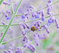 Bee Lavender. (Omygodtom) Tags: outdoors lavender elitebugs existinglight cherry air april macro tamron90mm bokeh digital nature natural nikon d7100 flickr flower garden dof selectivefocus senery scene scenic