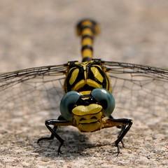 ciao... (andrea.zanaboni) Tags: nikon macro libellula dragonfly occhi eyes colori colors