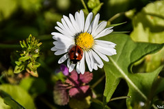 coccinelle 2 (nadineblanchard) Tags: coccinelle nature insecte