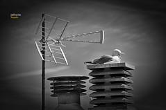 (197/17) Bocas abiertas (Pablo Arias) Tags: pabloarias photoshop photomatix nxd españa cielo nubes arquitectura bn blancoynegro gaviota antena tejado chimenea altea alicante comunidadvalenciana