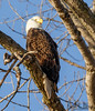 Golden morning light (BirdFancier01) Tags: raptor nature goldenlight iowa leclaire tree