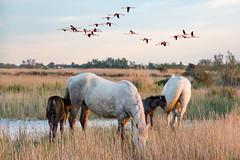 Scène de Camargue 6 (Xtian du Gard) Tags: camargue manade maguelonne paysage landscape horses chevaux oiseaux birds nature xtiandugard
