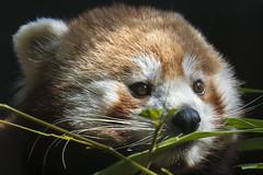 little red panda (Blende1.8) Tags: panda red redpanda katzenbär roterpanda ailurusfulgens portrait eyes augen nah tier zoo wuppertal carnivora canoidea carstenheyer sony alpha ilce6500 a6500 fe 70300mm sel animal tierportrait