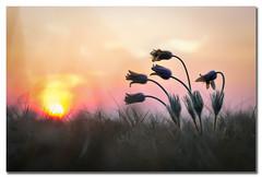 Pulsatilla vulgaris (epioxi) Tags: epioxi pulsatillavulgaris kuhschelle küchenschelle flower sunset pasqueflower