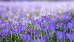 IMG_78 (schaffnerjoggl) Tags: frühling blüten bunt farben hermannshof schausichtungsgarten weinheim deutschland krokus