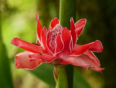 Torch Ginger / Etlingera elatior, Asa Wright Nature Centre, Trinidad (annkelliott) Tags: trinidad westindies caribbean asawrightnaturecentre trail nature flora plant flower flowers wildflower tropical etlingeraeliator torchginger gingerflower zingiberaceae red bracts large spectacular colour colourful forest rainforest bokeh outdoor 16march2017 fz200 fz2004 annkelliott anneelliott ©anneelliott2017 ©allrightsreserved