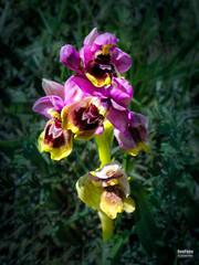 Ophrys tenthredinifera. Willd,1805. Orquídea avispa, (EcoFoco juanma.coria) Tags: andalucía antequera españa flora macro montaña naturaleza ophrystenthrediniferawilld1805 primavera parajenaturaltorcaldeantequera orquídeaavispa andalucía españa