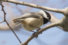 Carolina Chickadee 4-2-2017-9 (Scott Alan McClurg) Tags: emberizidae flickr pcarolinensis paridae passeroidea poecile animal back backyard bird bloom blossom bud carolina carolinachickadee checkadee flickrbirds flower forest life nature naturephotography neighborhood pear perch perching portrait smallbirds songbird suburbs tree wild wildlife winter woods yard delaware