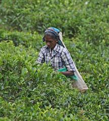 Duckwari tea plantation (Geoff Buck) Tags: srilanka people duckwari tea plantation woman teapicker picker