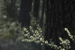 Camp Sherman (Tony Pulokas) Tags: campsherman oregon metoliusriver forest tree pine ponderosapine blur tilt bokeh spring oldgrowth purshia antelopebitterbrush bitterbrush antelopebrush buckbrush flower