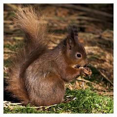 Yorkshire Dales Red Squirrel (Digital Wanderings) Tags: redsquirrel squirrel snaizeholme yorkshiredales woodland