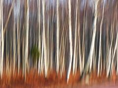 Björkskog (evisdotter) Tags: björkskog björkar birches trees forest nature icm sooc intentionalcameramovement camerapainting spring