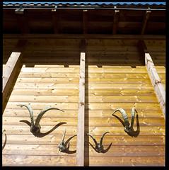 Horns (Baptiste Janin) Tags: hasselblad medium format moyen kodak portra 400 120 6x6 zermatt horns cornes massacre chalet suisse schweiz switzerland montagne bergen mountain square 500c 80mm