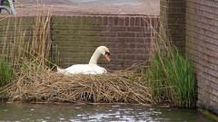 IMG_1519 (jjs-51) Tags: zwanen broekpolder swans