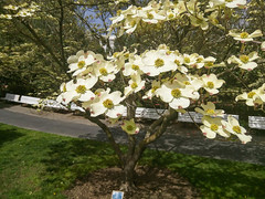 Flowering dogwood (melastmohican) Tags: shrub spring season nature flower cornus blooming beauty beautiful deciduous white florida garden bloom plant dogwood floral flora blossom cornaceae branch botanical outdoors green petal tree springtime flowering sacramento california unitedstates us