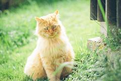 The Lion (freyavev) Tags: cat kitty orange green orangecat greeneyes greenery fluffy thüringen thuringia germany deutschland vsco 50mm niftyfifty mikasniftyfifty canon canon700d animal portrait