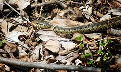 eastern garter snake (Black Hound) Tags: sony a500 minolta snake gartersnake newlingristmill