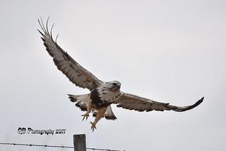 Rough-legged Hawk DSC_2360