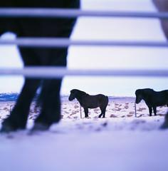 "Icelandic ""horsescape"" (Balthasar Phragmites) Tags: iceland icelandic horse tört pony winter þingvellir national park pentacon six tl carl zeiss jena biometar dark black velvia50 fuji velvia 50 darkhorse blackhorse dof 6x6 mediumformat 120mm 120film filmgrain noise analog analogphotography analogcamera analogphotohrapher grain film filmphotography issf istillshootonfilm issfcommunity filmisnotdead celluloid slidefilm dia positive fujifilm squareformat northern lights zomeifilter zomei filter"
