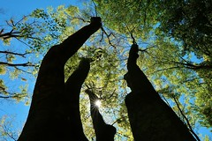Aril lights (namhdyk) Tags: tree trees canon canonpowershot canonpowershotg7x